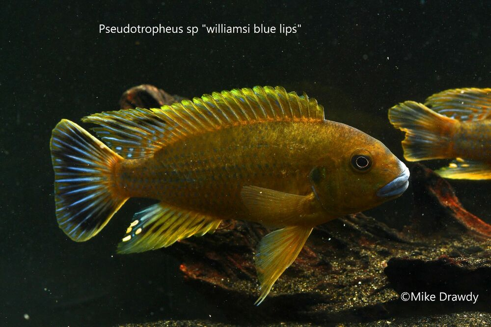 Williamsi blue lips african cichlids pseudotropheus for Ebay live fish