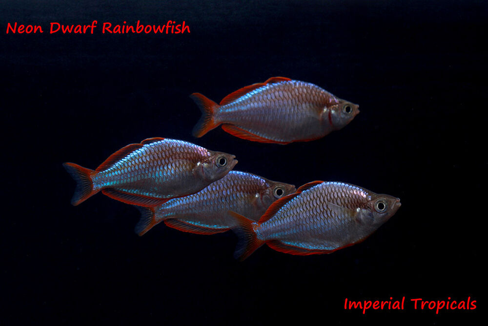 5 neon dwarf rainbowfish melanotaenia praecox live for Dwarf rainbow fish