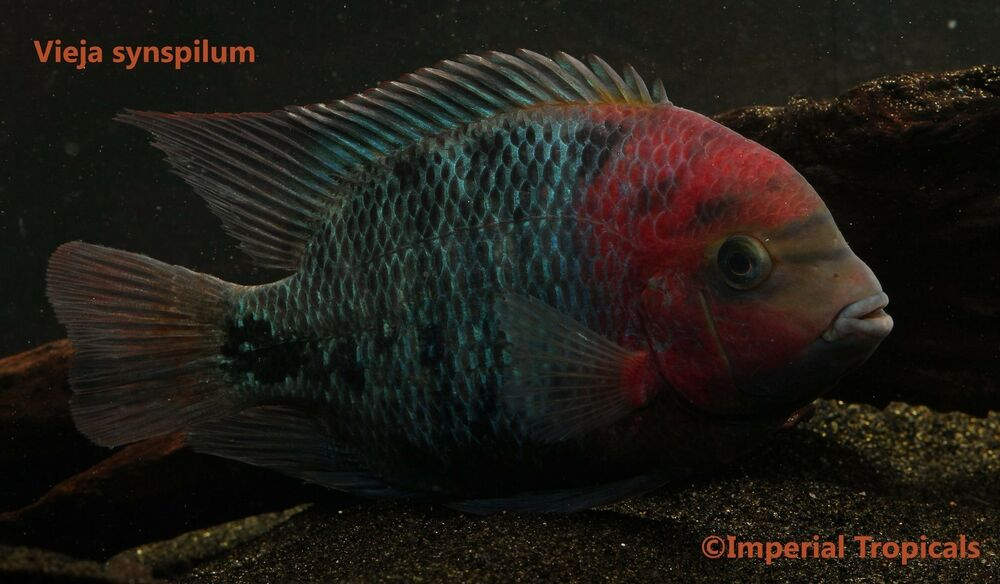 (2) Vieja Synspilum - Live Fish - Central America ... Electric Blue Peacock Cichlid