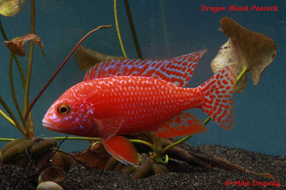 Dragon blood peacock african cichlid firefish for The fish 95 5
