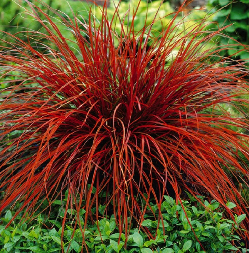 Red ornamental fountain grass foto bugil bokep 2017 for Red landscaping grass