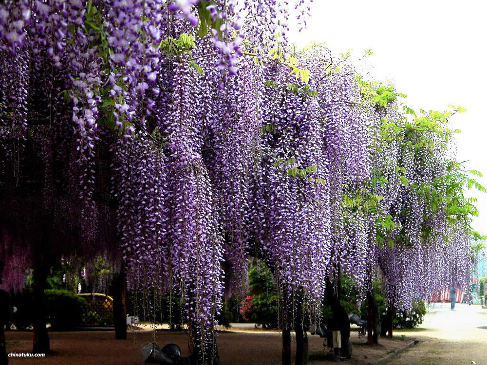 Blue chinese wisteria wisteria sinensis vine seeds fast for The wisteria