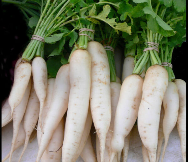 Daikon Radish *Heirloom* (300 Seed's)