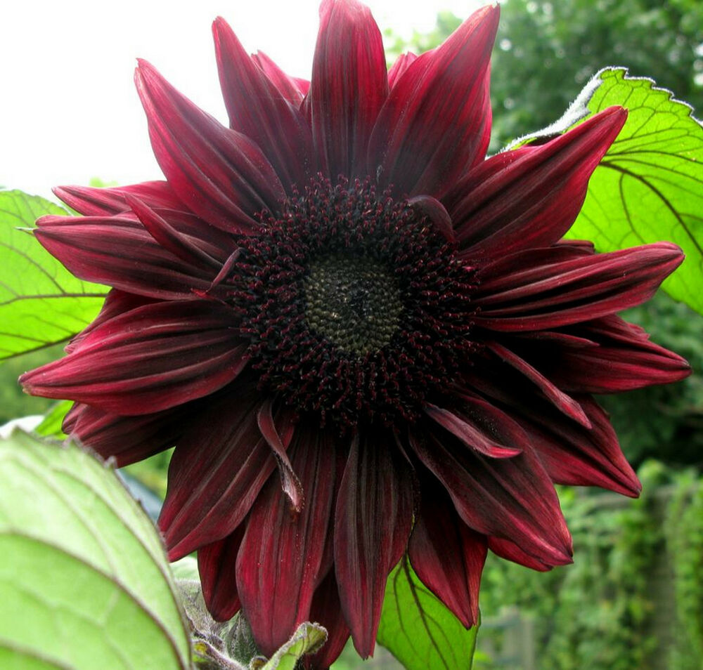20 Black Flowers And Plants To Add Drama To Your Garden: €�Almost Black' Flowers