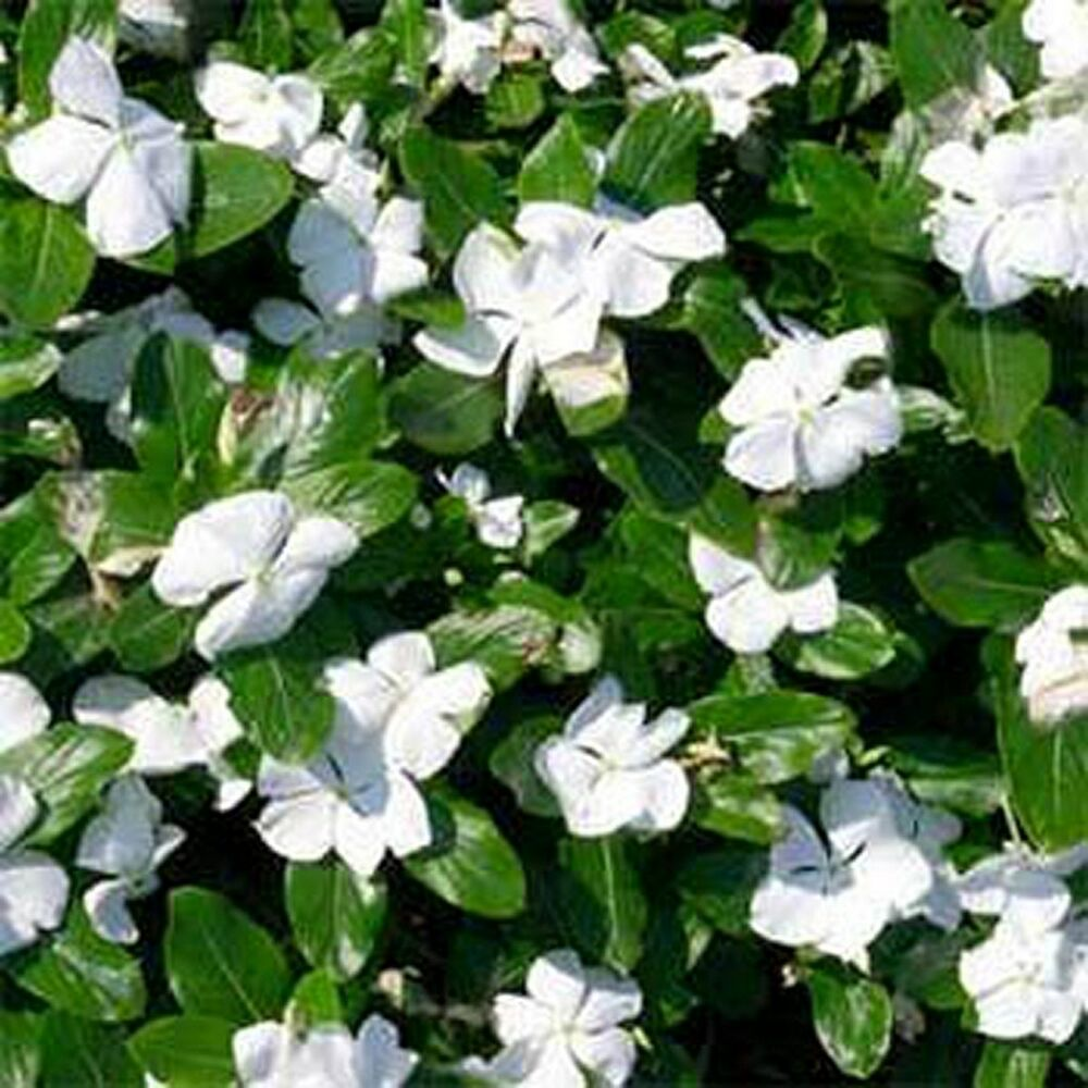 Vinca- Periwinkle- White- 50 Seeds - 50 % Off Sale