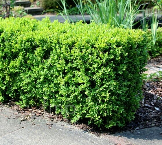 japanese boxwood buxus live plant trade gallon pot