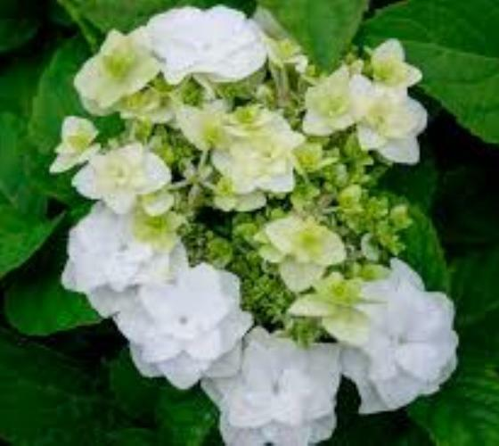 Wedding White Hydrangea: Wedding Gown White Double Delights Hydrangea