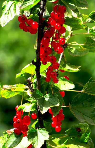 20 Red Wax Currant Edible Fruit Berries Pink Flowers Shrub