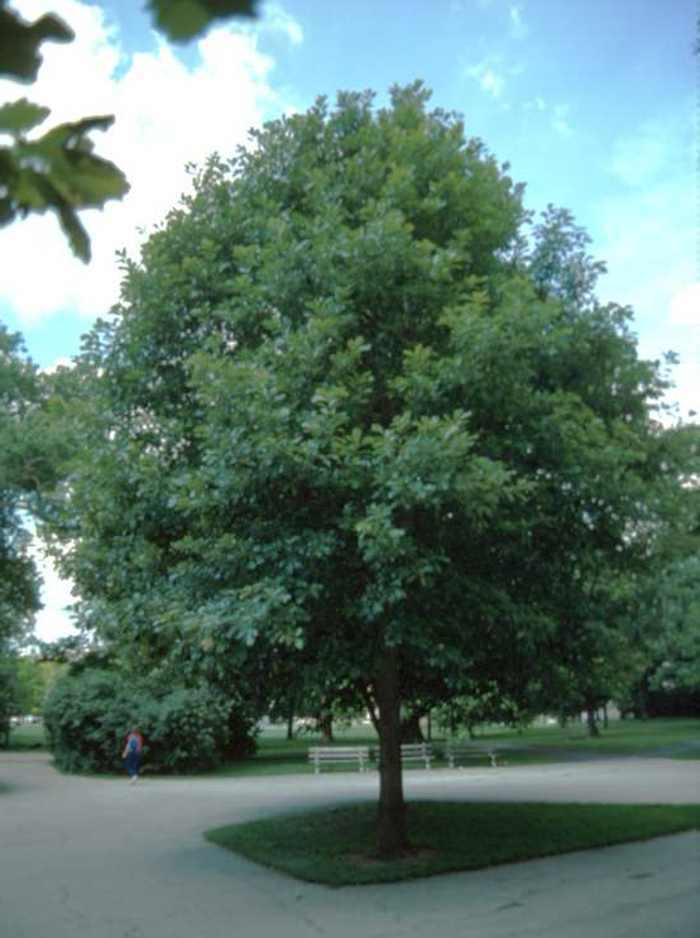 1 White Oak Tree Quercus Alba Ebay