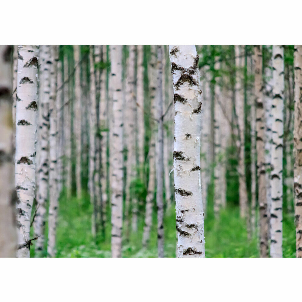 premium fototapete no 81 birch forest ii birkenwald 3d perspektive birke ebay. Black Bedroom Furniture Sets. Home Design Ideas