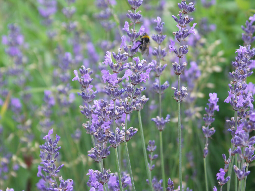 lavandula angustifolia 39 dwarf blue 39 lavendel duft 20x ebay. Black Bedroom Furniture Sets. Home Design Ideas