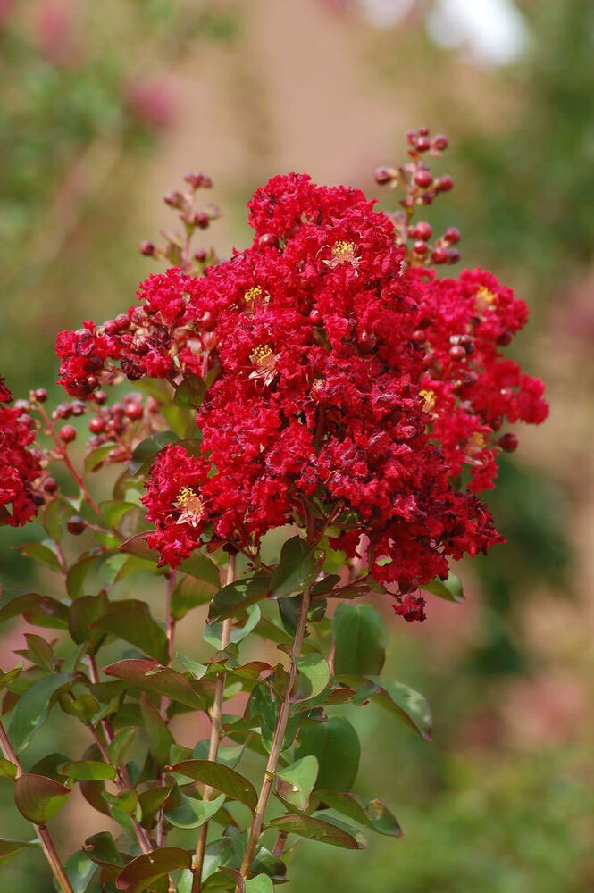 Lagerstroemia Indica Red Rooster Crape Myrtle 50