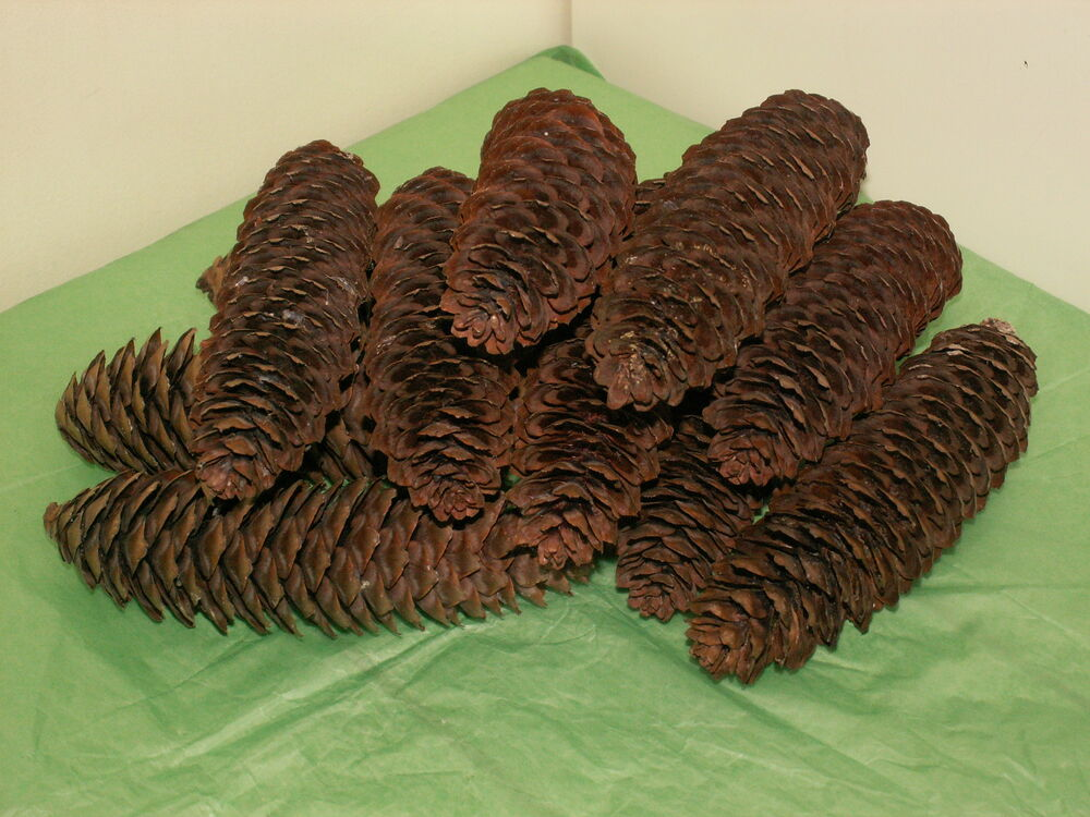 Eight natural large long pine cones crafts decoration for Long pine cones