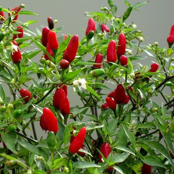 how to grow thai chilli