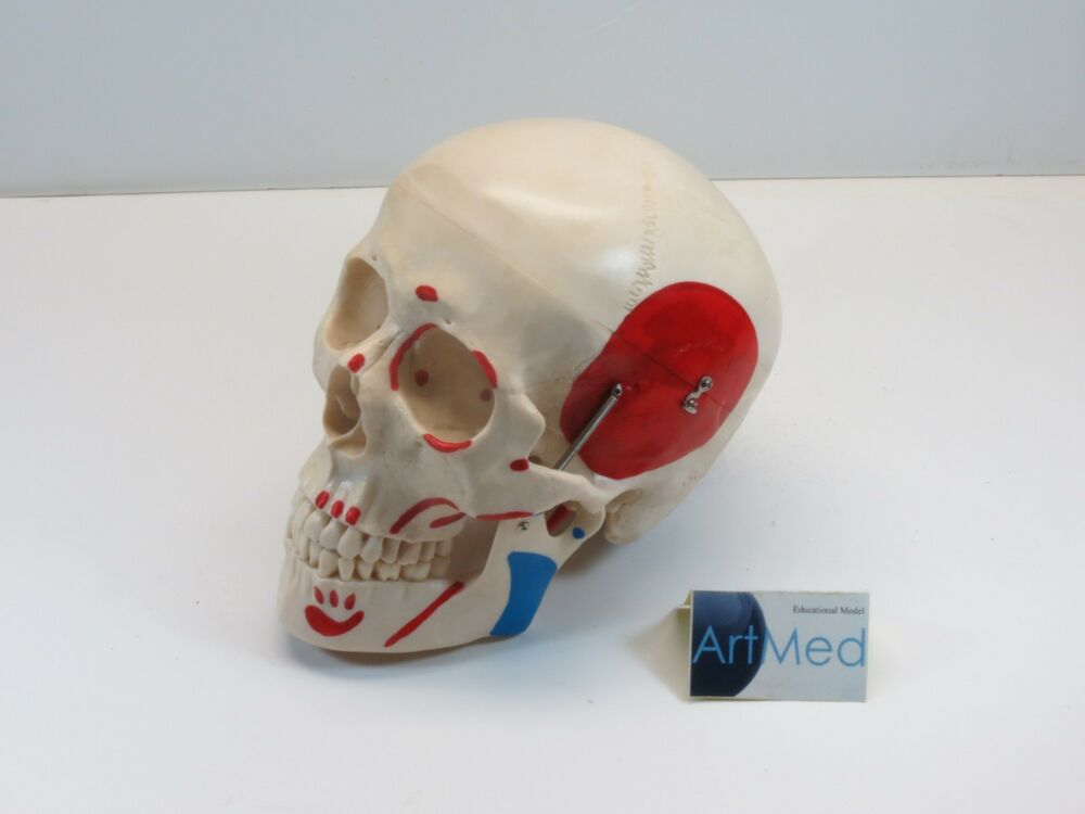 Educational Anatomy Life Size Skull Painted Muscle Practice Study