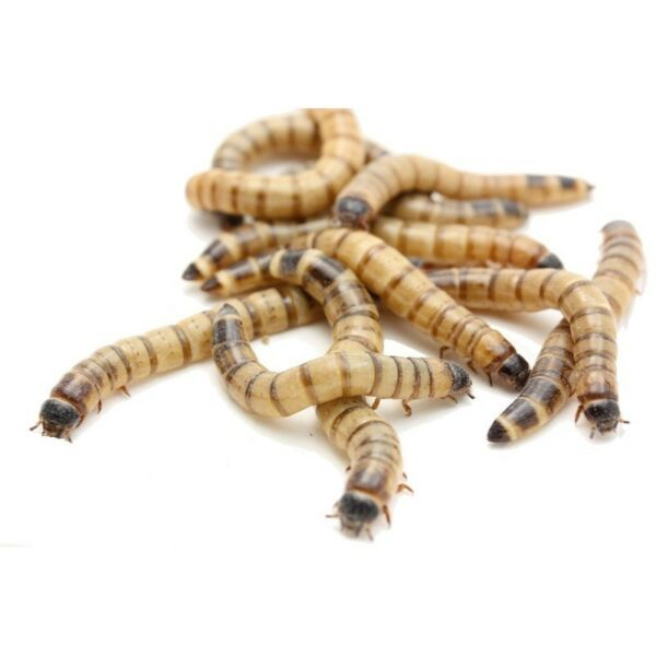 Large Live Organic Feeder superworms superworm for Reptile Mealworms alternative