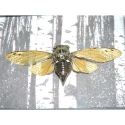 Kyпить REAL BUTTERFLY FRAMED swallowtail MOUNTED SHADOWBOX  ART GIFT INSECT  taxidermy на еВаy.соm