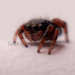 Kyпить Live Bold Jumping Spider Phiddipus Audax i3 Slings - Feeder Insects Salticidae  на еВаy.соm