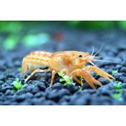 Kyпить Mexican Orange Dwarf Crayfish (2 crayfish) на еВаy.соm