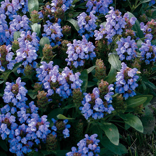 30 prunella bella blue flower seed ground cover