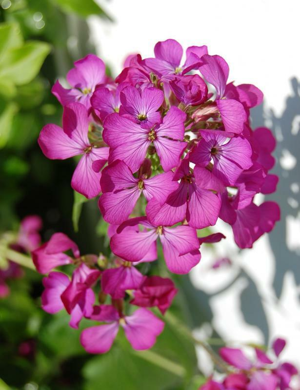 50 pink fushia dames rocket flower seeds perennial ebay. Black Bedroom Furniture Sets. Home Design Ideas