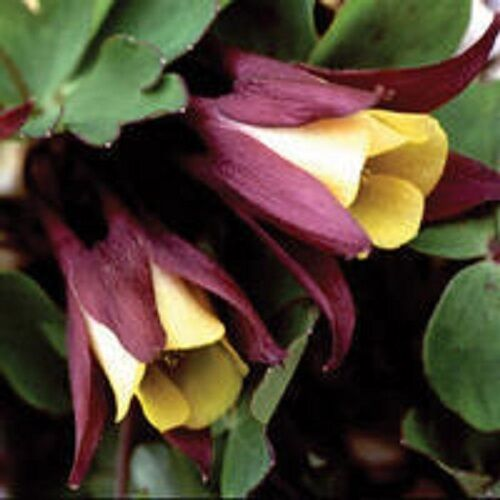 Columbine Floral And Gifts: 50+ ORIENTAL COLUMBINE (AQUILEGIA) FLOWER SEEDS/ PERENN