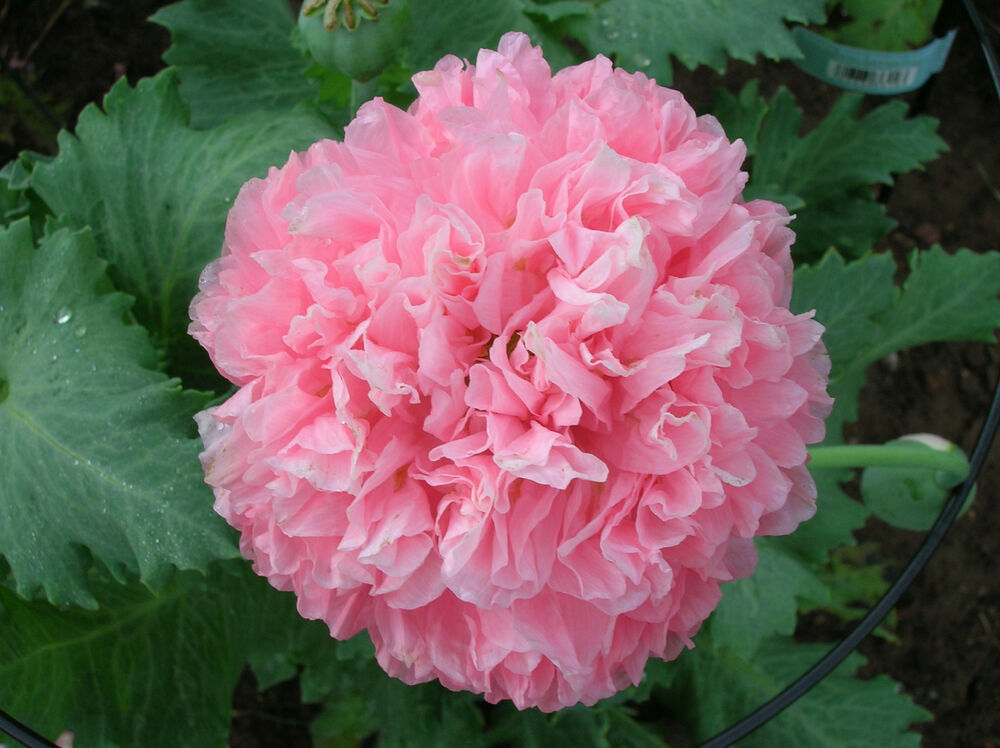 200 Poppy Flower Seeds Pink Skyline Peony Poppies Papaver