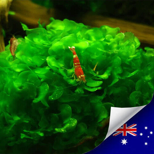 Aquarium live plant subwassertang for shrimp fish tank for Aquarium fish online