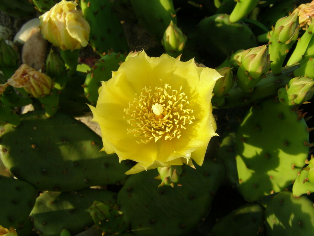 Prickly pear cactus plant cold hardy zone 5 maybe colder ebay
