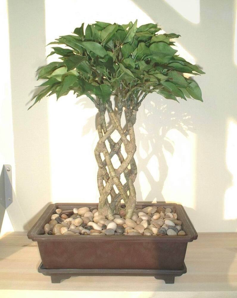 Ficus bonsai 15 38cm artificial imitation silk tree for Purchase trees