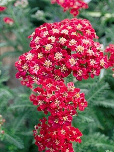 50 Red Velvet Achillea Yarrow Flower Seeds Perennial