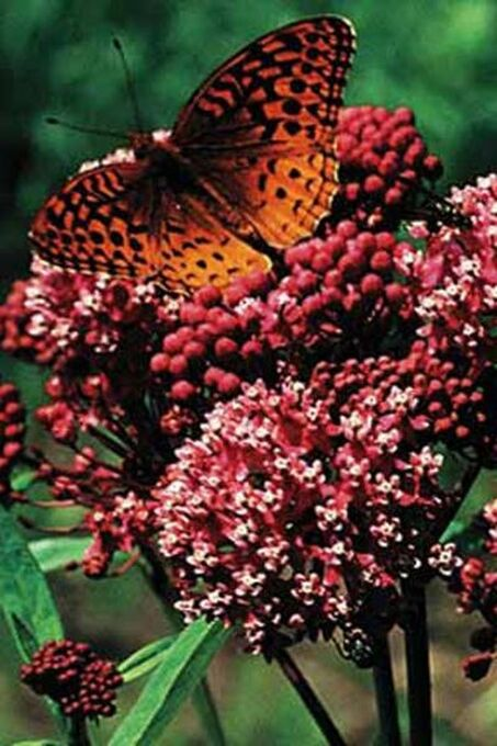 Red Butterfly Milkweed Asclepias Curassavica Red: A Great Butterfly Attractant!!!
