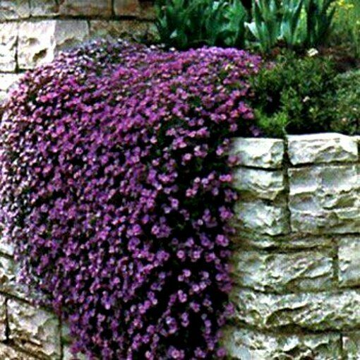 50+ PERENNIAL FLOWERING GROUNDCOVER SEEDS