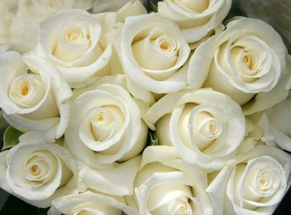 Snow White Rose Bush! 10 Seeds! Comb. S/H! SEE OUR STORE ...