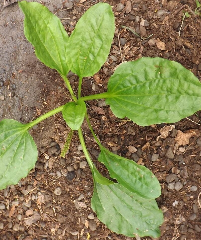 Organic plantago major broadleaf plantain seeds homeopathy for Broadleaf