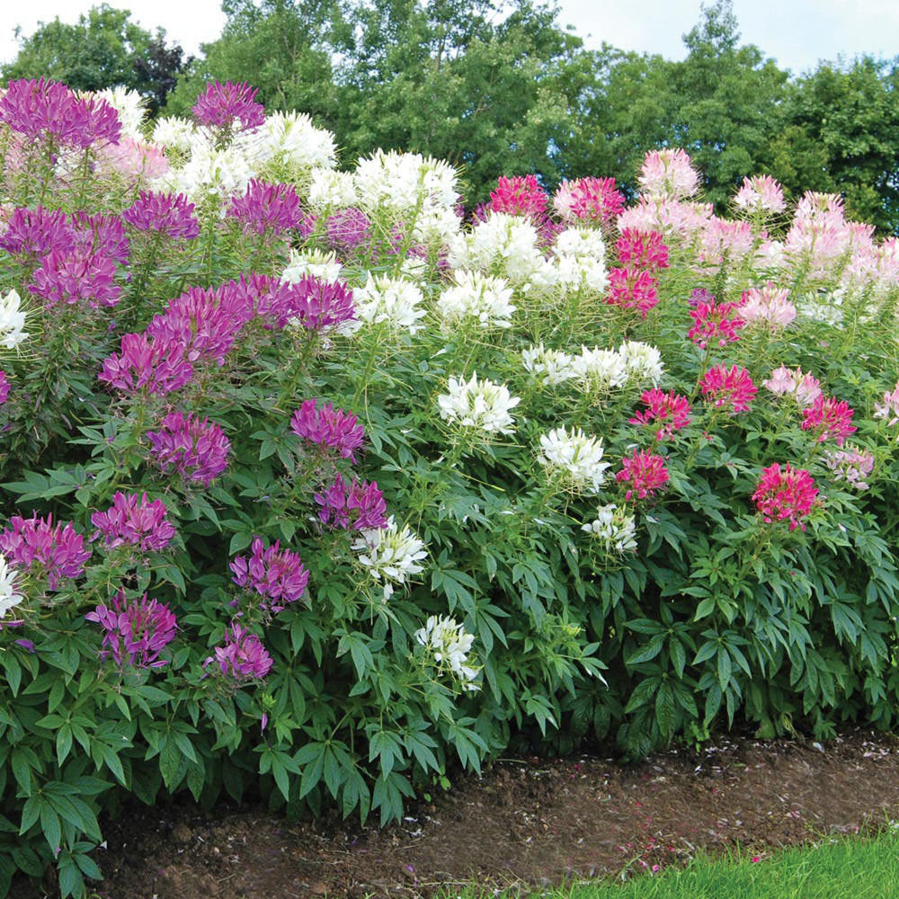 4 color custom mix spider flower blend cleome hot pink hot purple bi color white ebay - Flowers planted may complete garden ...