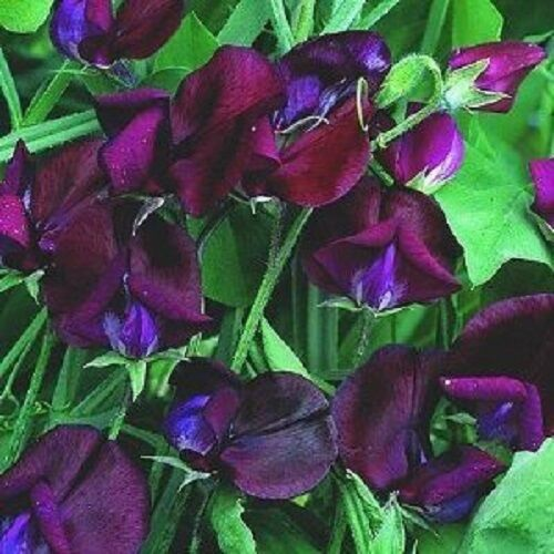 30 Black Knight Most Fragrant Sweet Pea Flower Seeds