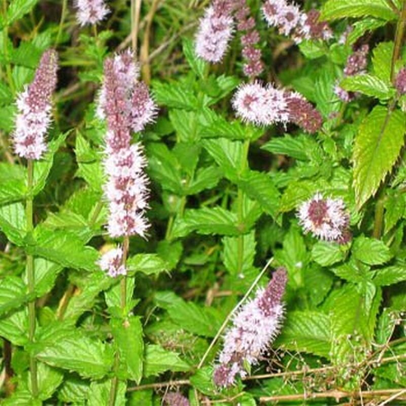 Spearmint Seeds - Irresistible fragrance when added to ...