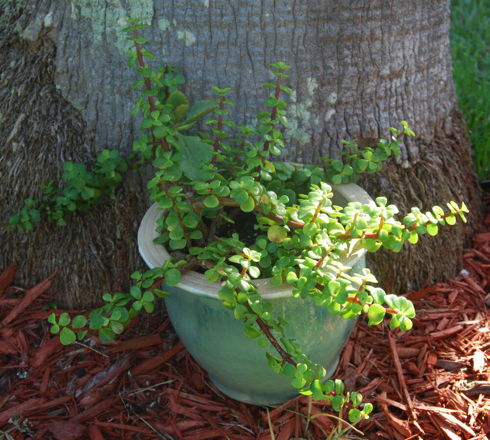 Garden Bush: Portucalaria Afra Solid Green Bonsai