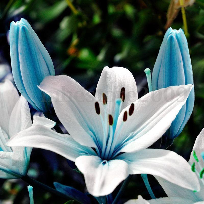 Lilies Types Of Leafs: 50pcs Blue Heart Lily Plant Seeds Potted Bonsai Lilium