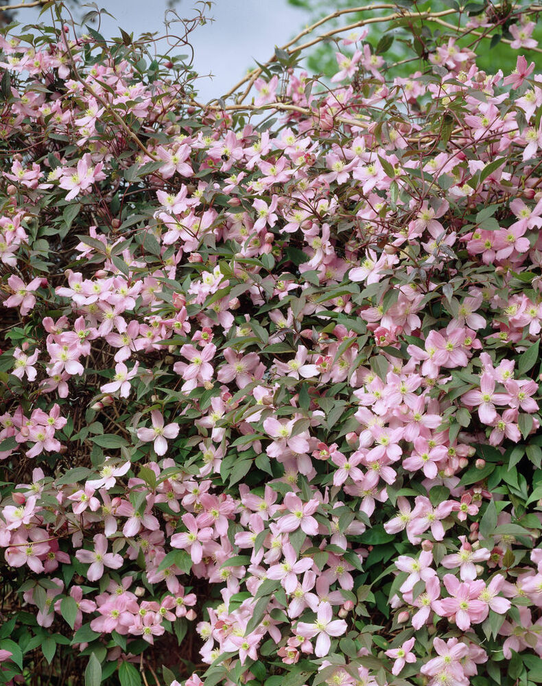 clematis montana pink perfumed 20 seeds hardy climber ebay. Black Bedroom Furniture Sets. Home Design Ideas