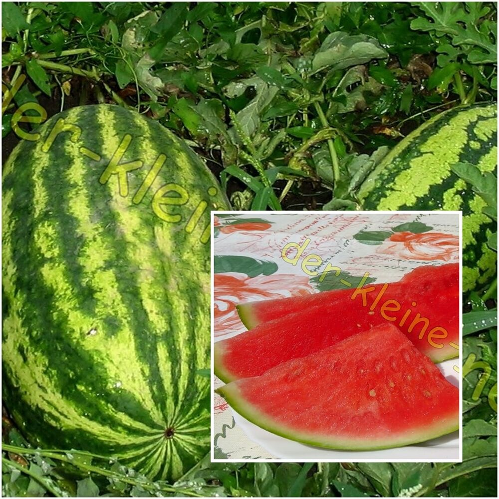 riesen wassermelone melone wassermelonen bis zu 14 kilo schwere melonen 10 samen ebay. Black Bedroom Furniture Sets. Home Design Ideas