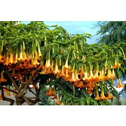 Kyпить  Brugmansia Angels Trumpet Plant Apricot  Queen Very Fragrant Ship in POT на еВаy.соm