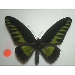Butterfly/Insect Non Set B7446 Large V/Rare Male Papilio brookiana Rajah Brookes