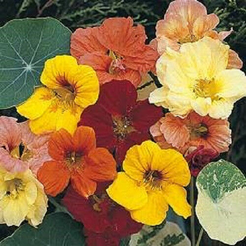 50 dwarf jewel mix nasturtium tropaeolum flower seeds ebay. Black Bedroom Furniture Sets. Home Design Ideas