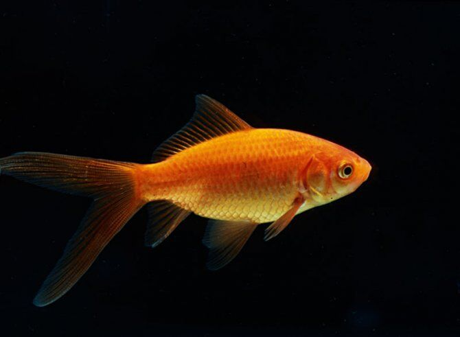 Goldfish live goldfish for garden pond koi pond 2 for What fish can live with goldfish