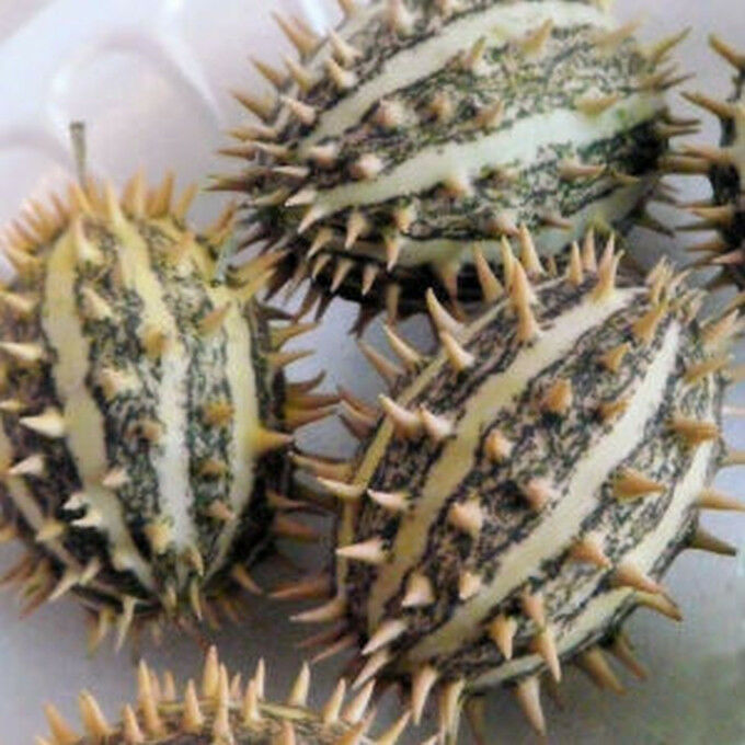 Hedgehog Gourd Very Unusual Spiky Skins Ornamental