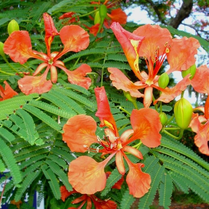 how to grow a poinciana tree from seed
