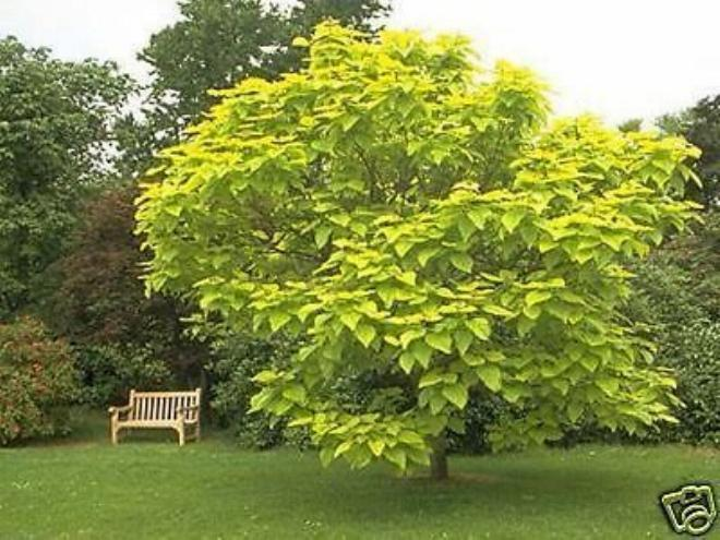 gold trompetenbaum catalpa bignonioides aurea ab 100 350 cm ebay. Black Bedroom Furniture Sets. Home Design Ideas