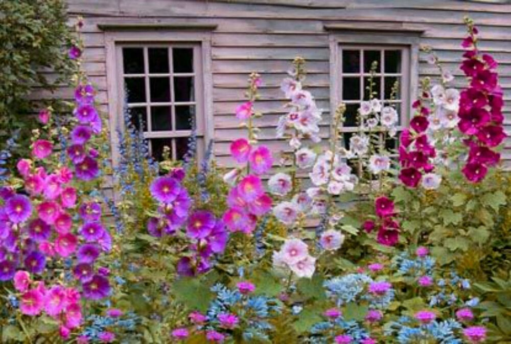 Beautiful Mix Of My Best Hollyhocks 20 Seeds Combined S